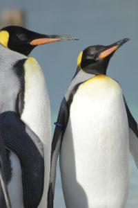 王様ペンギン、オウサマペンギンの立ち姿