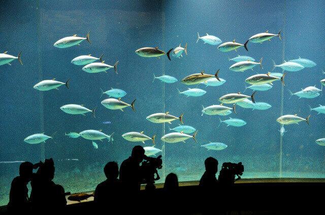 クロマグロが群泳する水槽