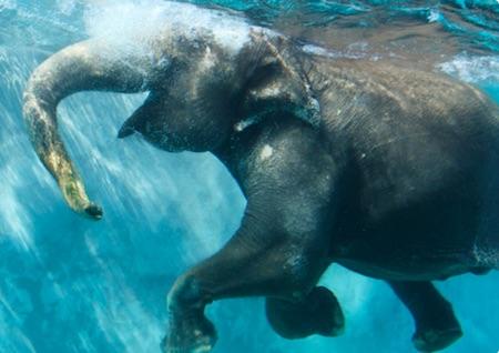 日本初の水中のゾウ