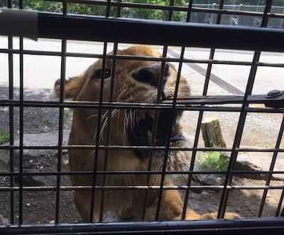 ライオンへの餌やり