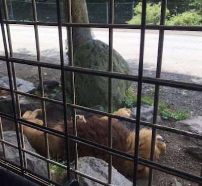 ライオンは寝てばかり