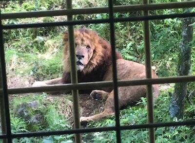 起きてるライオン